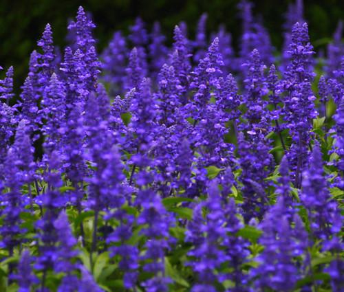 Sage Blue Non GMO Seeds - Salvia Farinacea