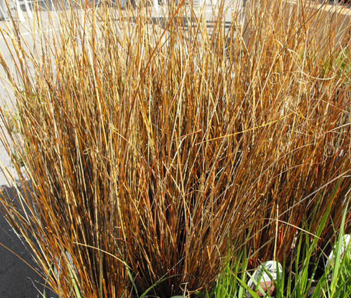 Sedge Leatherleaf Red Rooster Seeds - Carex Buchananii