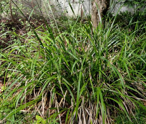 Sedge Pendulous Fresh Look Seeds - Carex Pendula