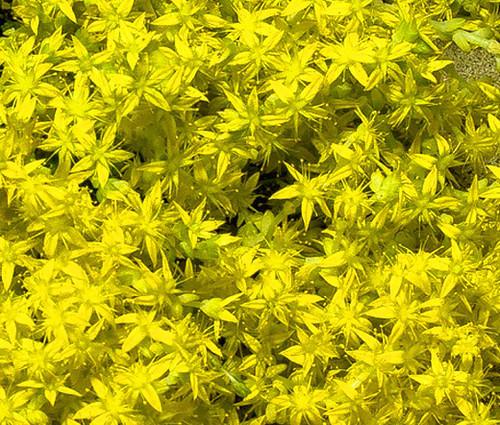 Sedum Czar's Gold Stonecrop Seeds - Sedum Hybridum