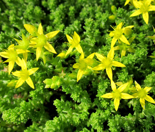 Sedum Gold Moss Stonecrop Seeds - Sedum Acre