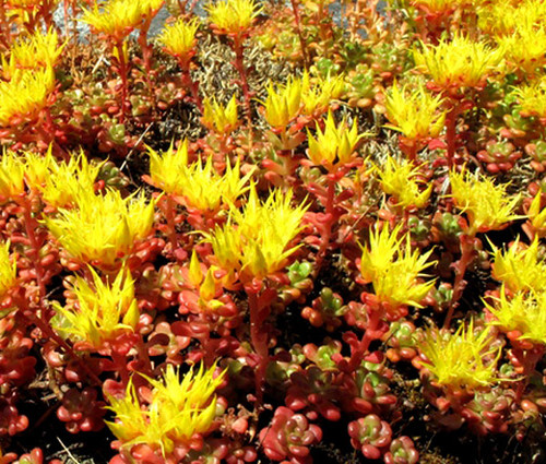 Sedum Oregon Stonecrop Seeds - Sedum Oreganum
