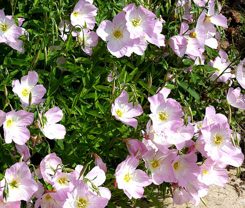 Showy Evening Primrose Non GMO Seeds - Oenothera Speciosa