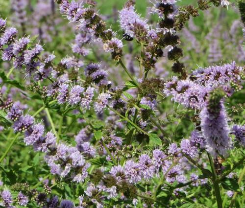 Spearmint Non GMO Seeds - Mentha Spicata
