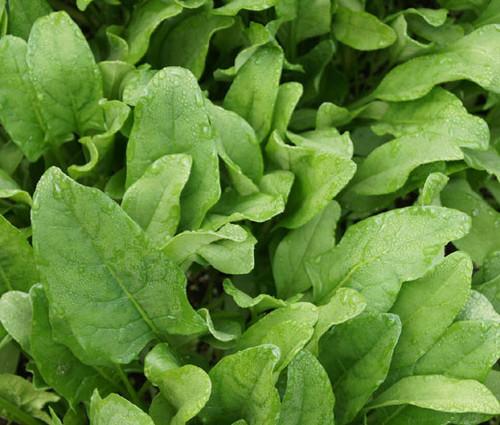 Spinach Hybrid 7 Non GMO Seeds - Spinacia Oleracea