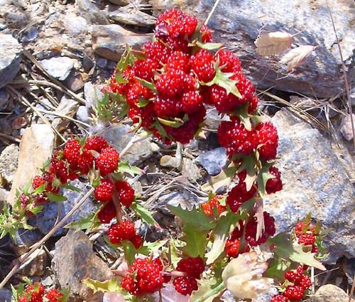 Spinach Strawberry Sticks Non GMO Seeds - Chenopodium Foliosum 2