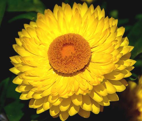 Strawflower Mix Seeds - Helichrysum Monstrosum 3