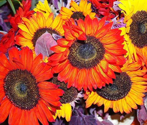 Sunflower Autumn Beauty Non GMO Seeds - Helianthus Annuus