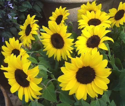 Sunflower Lemon Queen Non GMO Seeds - Helianthus Annuus