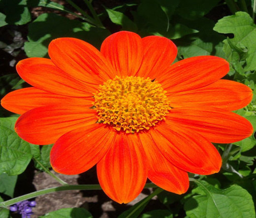 Sunflower Mexican Torch Non GMO Seeds - Tithonia Rotundifolia