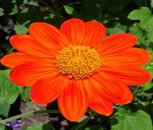 Sunflower Mexican Torch Non GMO Seeds - Tithonia Rotundifolia