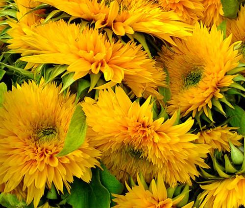 Sunflower Santa Fe Double Non GMO Seeds - Helianthus Annuus