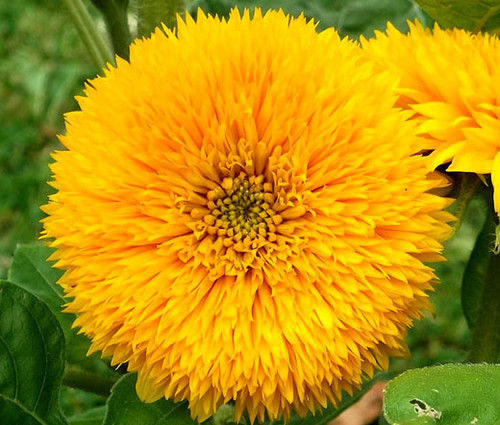 Sunflower Teddy Bear Non GMO Seeds - Helianthus Annuus