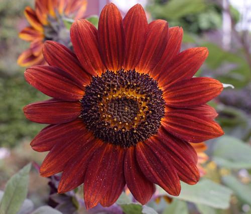 Sunflower Velvet Queen Non GMO Seeds - Helianthus Annuus