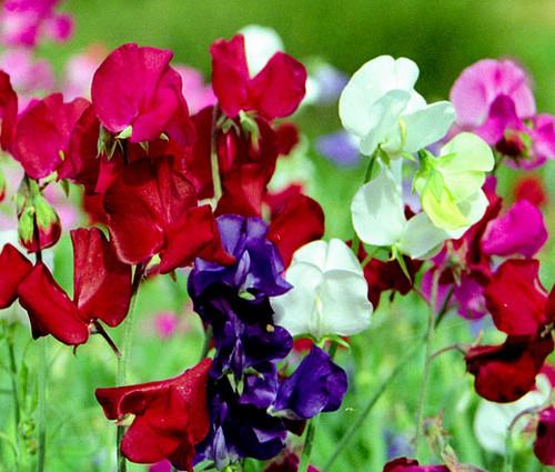 Sweet Pea Bijou Mix Dwarf Seeds - Lathyrus Odoratus