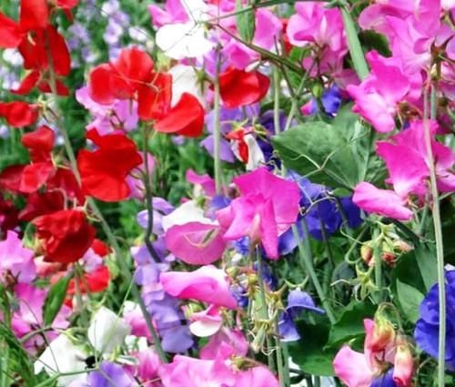 Sweet Pea Cuthbertson Mix Seeds - Lathyrus Odoratus