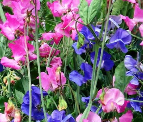 Sweet Pea Royal Family Mix Seeds - Lathyrus Odoratus