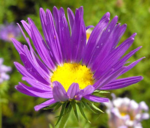 Tahoka Daisy Prairie Aster Seeds - Machaeranthera Tanacetifolia