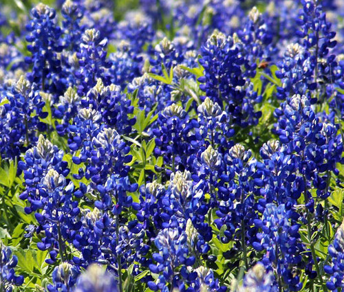 Texas Bluebonnet Seeds - Lupinus Texensis