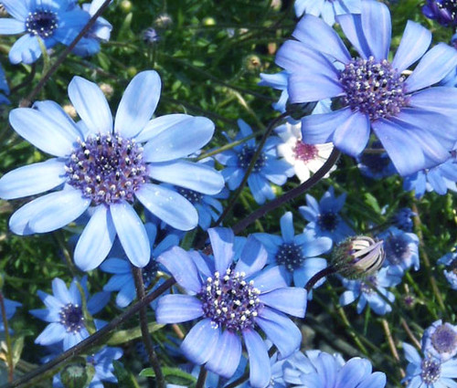 The Blues Blue Daisy Seeds - Felicia Heterophylla