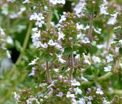 Thyme Non GMO Seeds - Thymus Vulgaris
