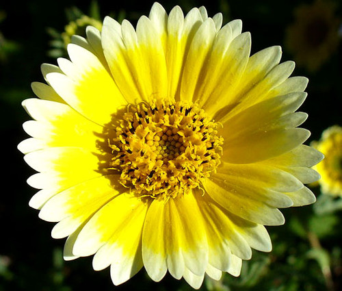 Tidy Tips Seeds - Layia Platyglossa