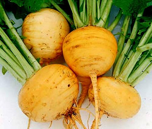 Turnip Golden Globe Non GMO Seeds - Brassica Rapa