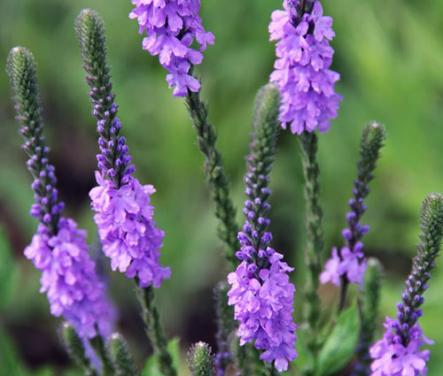 Vervain Hoary Seeds - Verbena Stricta