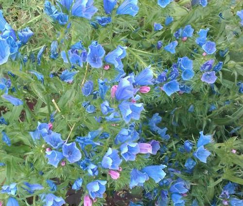 Viper's Bugloss Blue Bedder Dwarf Seeds - Echium Plantagineum