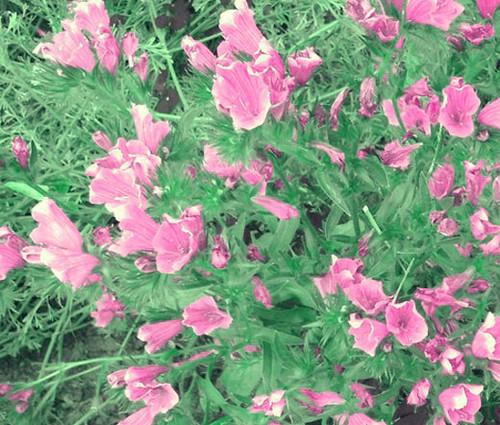 Viper's Bugloss Rose Pink Bedder Dwarf Seeds - Echium Plantagineum