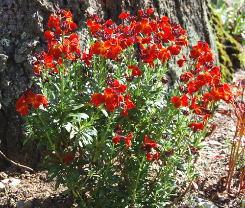 Wallflower English Seeds - Cheiranthus Cheiri