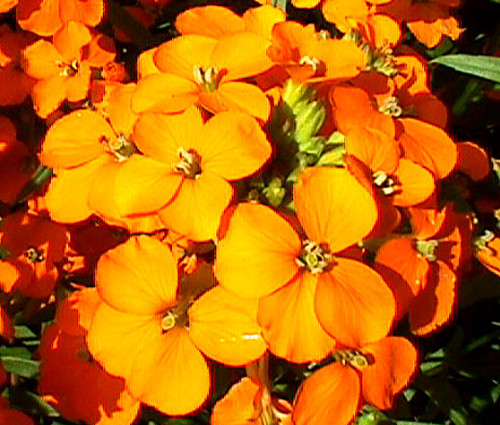 Wallflower Siberian Seeds - Cheiranthus Allionii