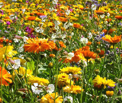Wildflower Mix 3B Bee Bird Butterfly Seeds