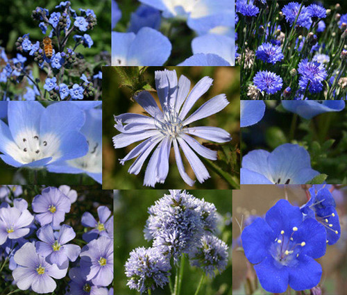 Wildflower Mix Blue Seeds