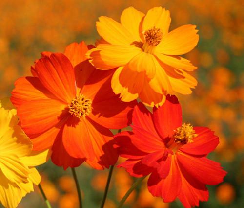 Wildflower Mix Cascade Mountain Tall Seeds