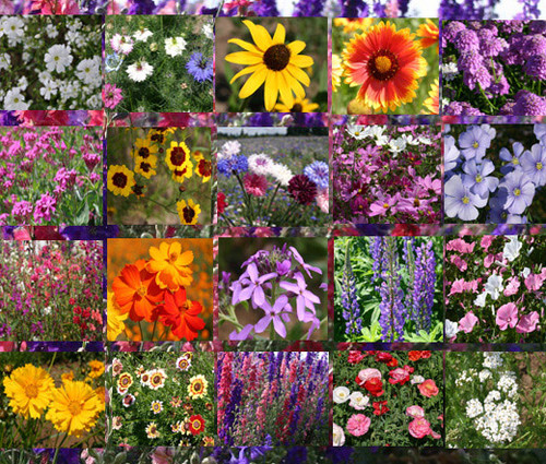 Wildflower Mix Cascade Mountain Tall Seeds