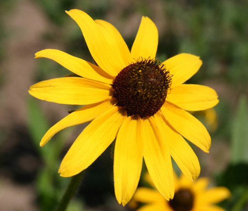 Wildflower Mix Yellow Seeds