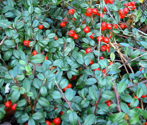 Wintergreen Creeping Non GMO Seeds - Gaultheria Procumbens