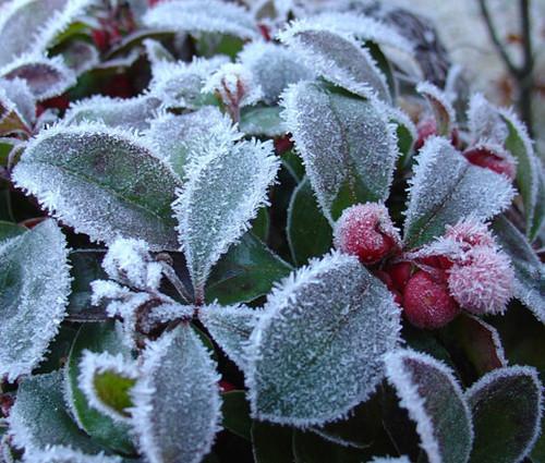 Wintergreen Creeping Non GMO Seeds - Gaultheria Procumbens 2