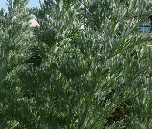 Wormwood Common Non GMO Seeds - Artemisia Absinthium 3