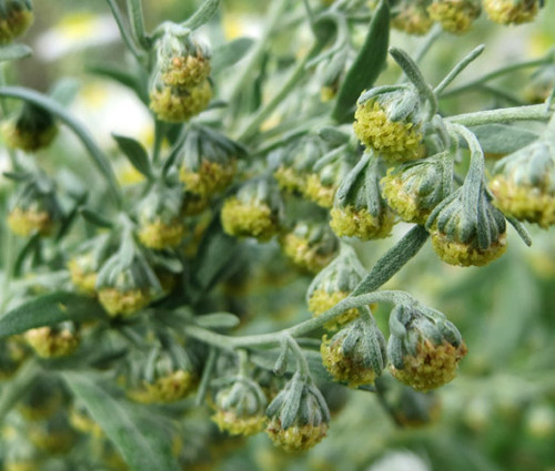 Wormwood Common Non GMO Seeds - Artemisia Absinthium