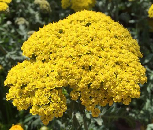Yarrow Gold Non GMO Seeds - Achillea Filipendulina