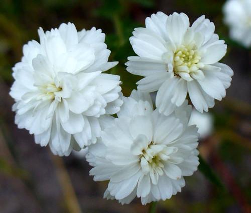 Yarrow Pearl Non GMO Seeds - Achillea Ptarmica