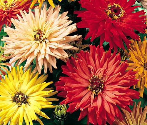 Zinnia Cactus Mix Seeds - Zinnia Elegans