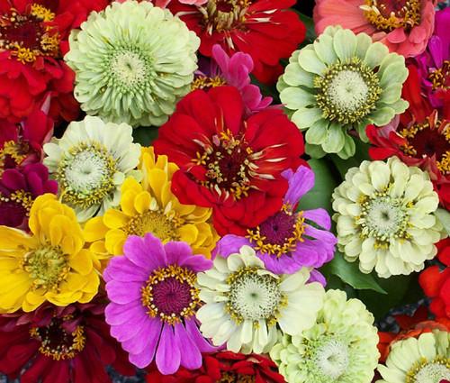 Zinnia Pumila Mix Seeds - Zinnia Elegans