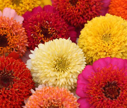 Zinnia Scabiosa Flowered Mix Seeds - Zinnia Elegans