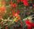 Castor Bean Impala Seeds - Ricinus Communis