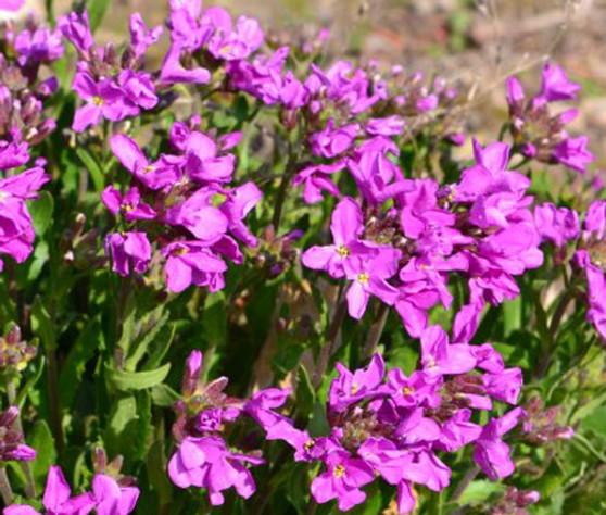 Arabis Wall Rock Cress Spring Charm Seeds - Arabis Blepharophylla