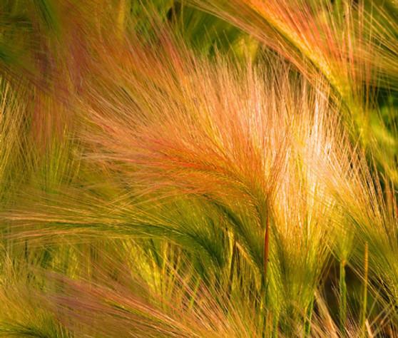 Foxtail Barley Seeds - Hordeum Jubatum