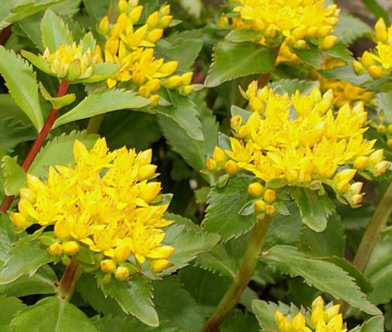 Sedum Aizoon Stonecrop Seeds - Sedum Aizoon
